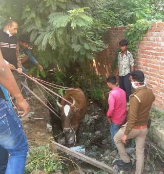 पुलिस कर्मियों ने गो-सेवक बनकर की गाय की रक्षा, निरीक्षक ने थपथपाई पीठ