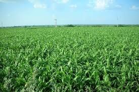 जानकारी : बढ़ रहे ठंड से न घबराएं किसान, फसलों को होगा फायदा