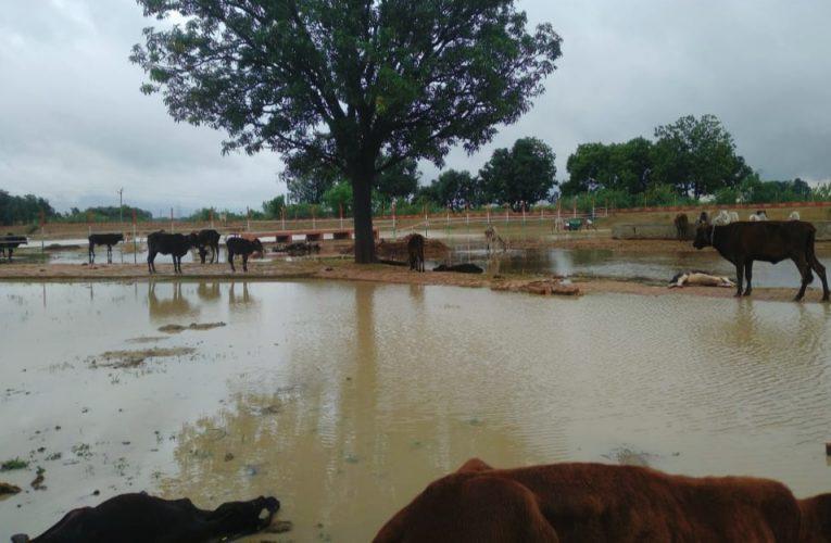 फतेहपुर: बारिश से गौशालाओं बनी तालाब, गाैवंश भीगने को विवश
